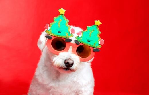Piros háttér előtt fehér kutya, vicces karácsonyi szemüvegben.