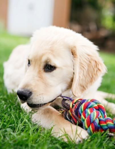 Egy fehér kutya a fűben egy kötéllel játszik.