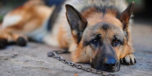 Egy kutya lánccal a nyakán a földön fekszik.