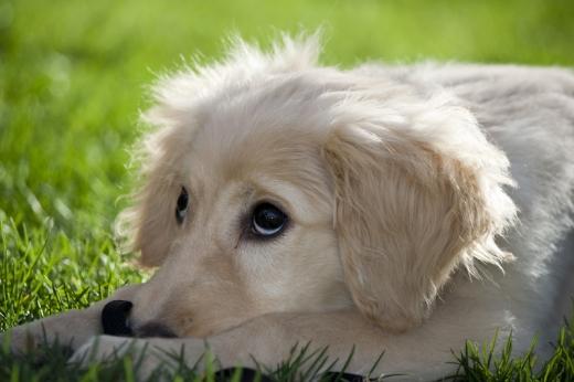 Egy fehér kutya feje, amint a fűben fekszik és előre néz.