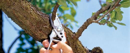 Egy faágról egy kéz metszőollóval levág egy vékonyabb ágmaradványt.