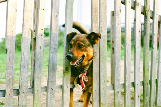 Egy kutya a fejét átdugja a fakerítésen.