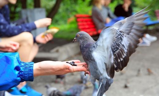 Egy parkban egy nő kezéből eszik egy repülő galamb.
